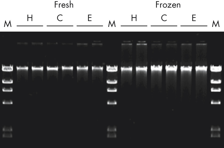 Reproducible purification of DNA from sheep ear tissue.